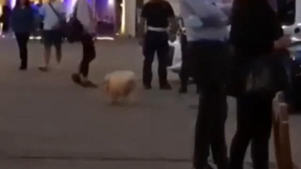 VIDEO - Maialino da passeggio a spasso per Foligno