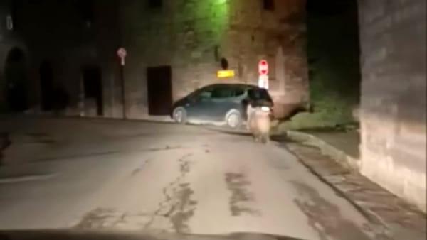 VIDEO Cinghiale a spasso per la città, succede ancora. Questa volta a Gubbio