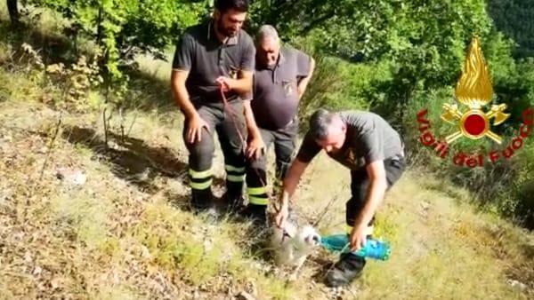 VIDEO Resta intrappolato nel bosco, cagnolino salvato dai vigili del fuoco