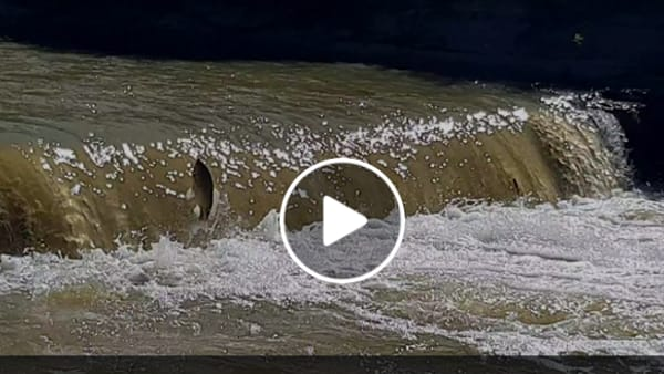 VIDEO Il carassio del Trasimeno si sente un salmone e tenta di risalire il torrente