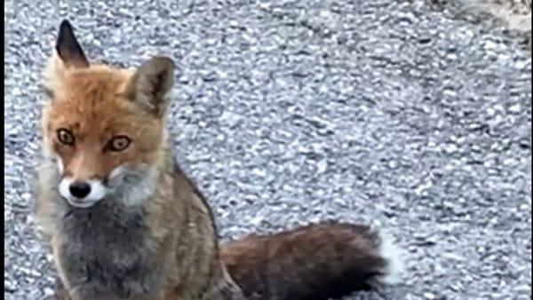 """VIDEO Il terremotato e la volpe dei Monti Sibillini, l'incontro: """"Se fai la brava ti do una merendina"""""""