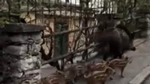 VIDEO Ad un passo dal centro, l'ordinata passeggiata di mamma cinghiale con i suoi 6 cuccioli